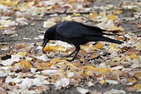 Criminal Crow Forces Canadian Postal Service to Cease Deliveries