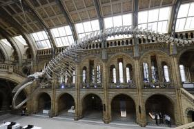 Natural History Museum's Iconic Dinosaur Gives Way to Blue Whale