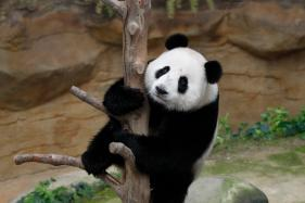 Panda Cub Nuan Nuan's 2nd birthday celebration in Malaysia Zoo