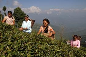 Tea Board Proposes Rs 100 Crore Package for Darjeeling Gardens