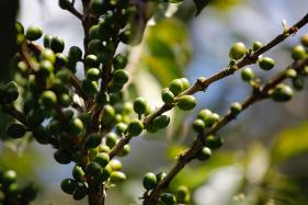 Climate Change Could be Endangering Your Cup of Coffee