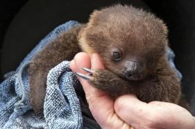Adorable Baby Sloth born in German Zoo