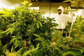 Michigan College Rolls Out Marijuana Degree for Undergraduates, But Hold the Jokes