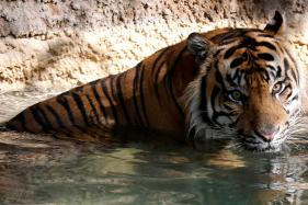 4 Tiger Deaths in 45 Days, NTCA Slaps Notice on MP Forest Department