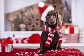Don't Let Your Dog Fall Prey to Chocolate Poisoning This Festive Season: Experts