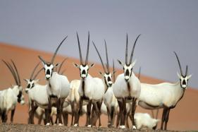 Oman Opens Sprawling Oryx Reserve to Ecotourists