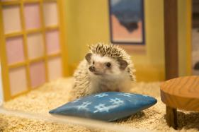 Japan Opens Its First Ever Hedgehog Cafe; See Pics