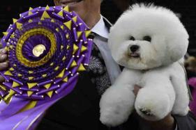 Bichon Frise Named Flynn Named Top Dog At Westminster Dog Show