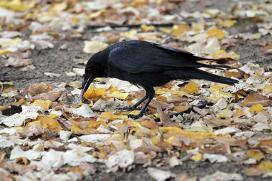 Criminal Crow Forces Canadian Postal Service to Cease Deliveries