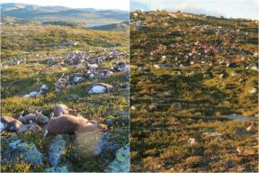 More Than 300 Reindeers Killed By Lightning In Norway