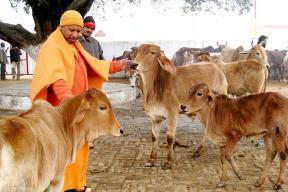 Yogi Adityanath's 'Favourite' Cows to Follow Him to His New Residence