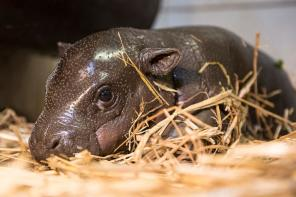 Two Week Old Pygmy hippopotamus in Nyiregyhaza Animal Park