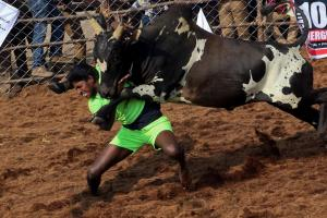 Jallikattu: The Bull Taming Festival in Tamil Nadu; See Pictures