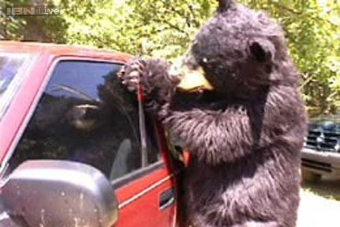 bears believed to be behind car break ins in new hampshire ibnlive. Black Bedroom Furniture Sets. Home Design Ideas