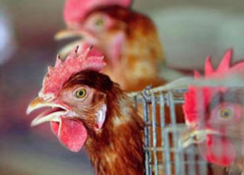 Third bird flu case reported in Pak