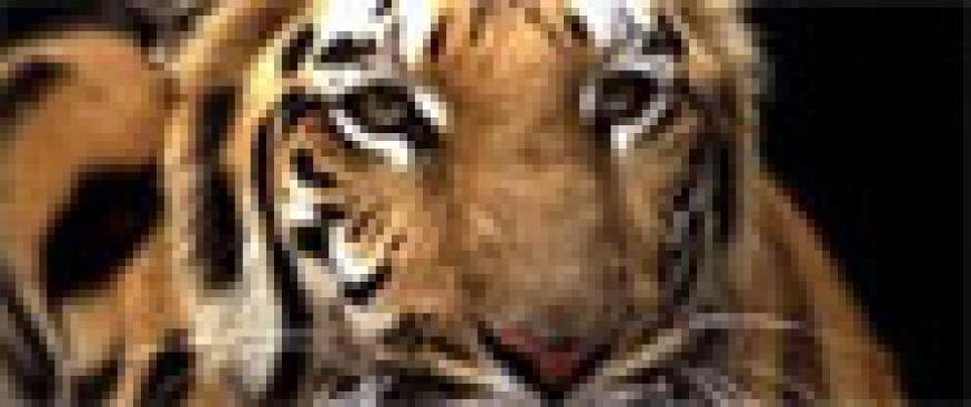 Two wild Tigers get 'Lifetime Achievement Award'