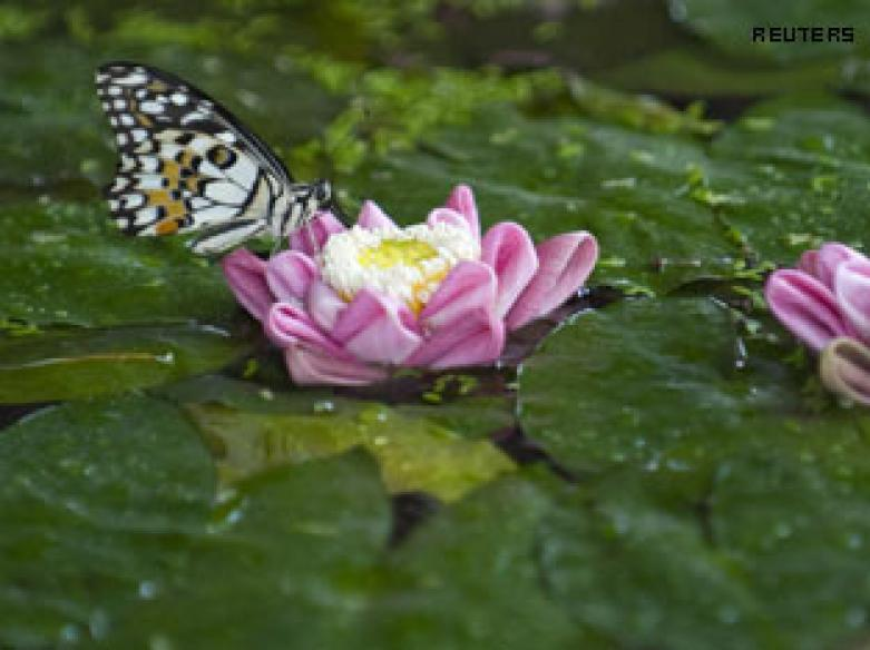 Scientists unlock secret of how lotus stays dry