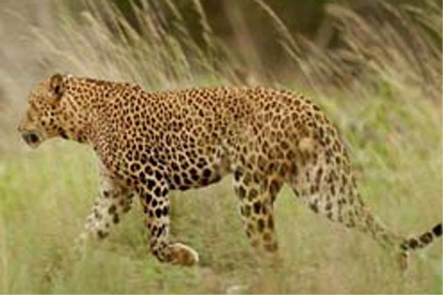 Leopard 'evicted' from Mumbai school after 20 hrs