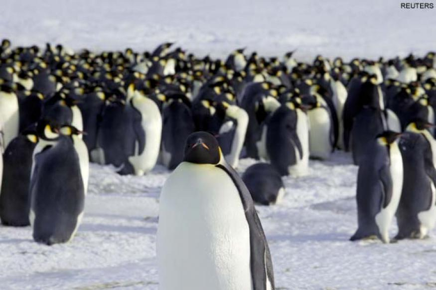 Melting ice threatens Emperor penguins: Study
