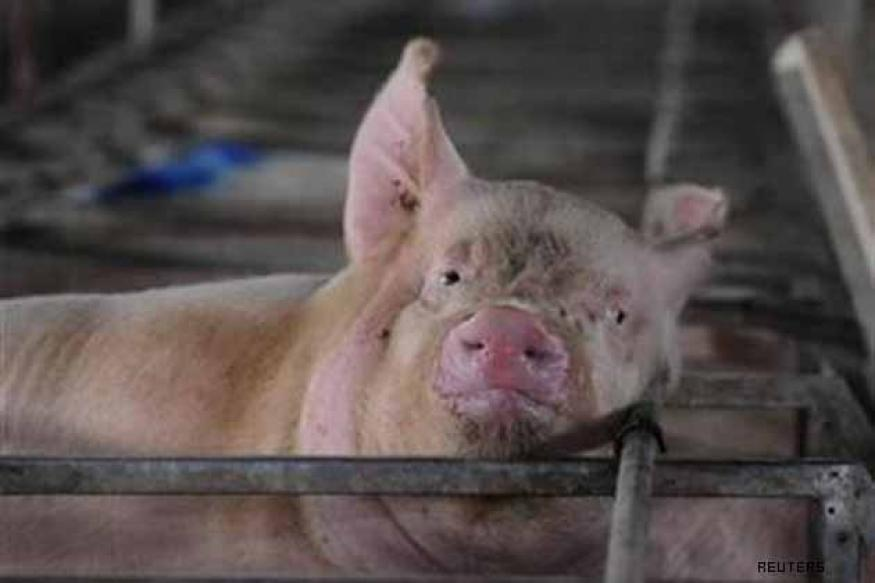 Swine fever outbreak in West Sikkim