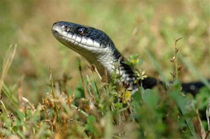 Deadly snake travels from India to Essex