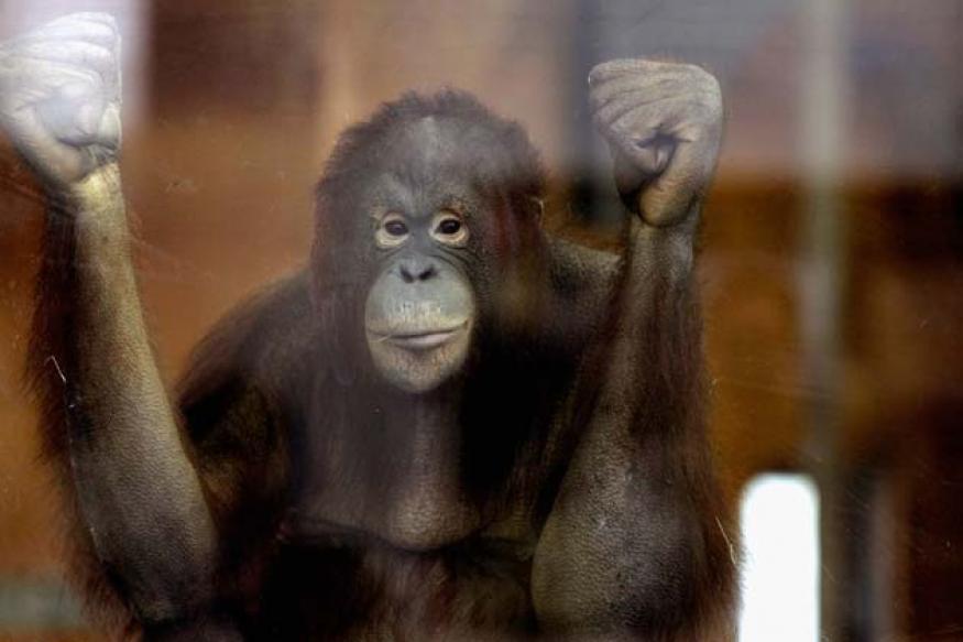 Polish orangutan addicted to Pride And Prejudice