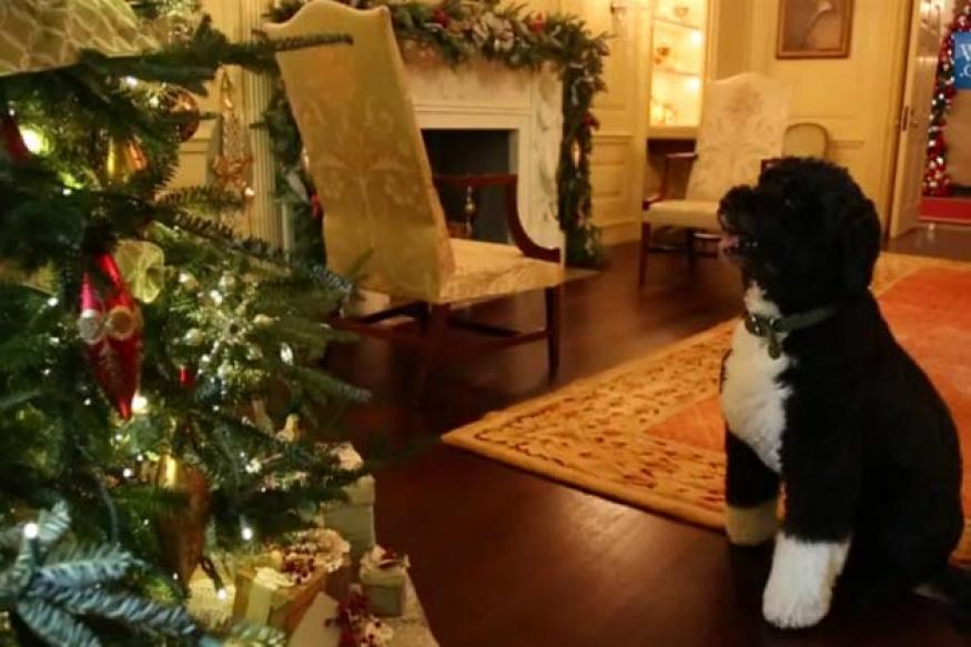 Aww... White House dog 'Bo' inspects Christmas decoration