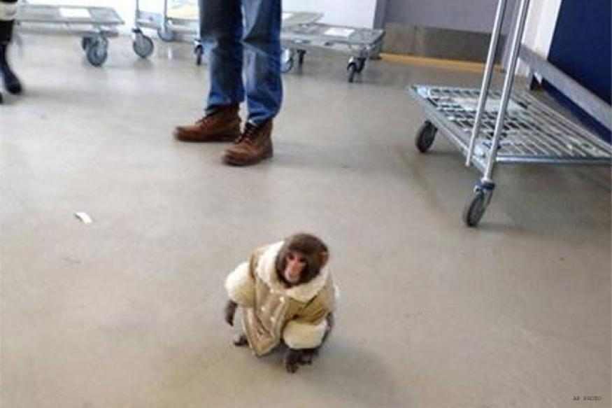 Coat-wearing monkey caught outside Toronto store