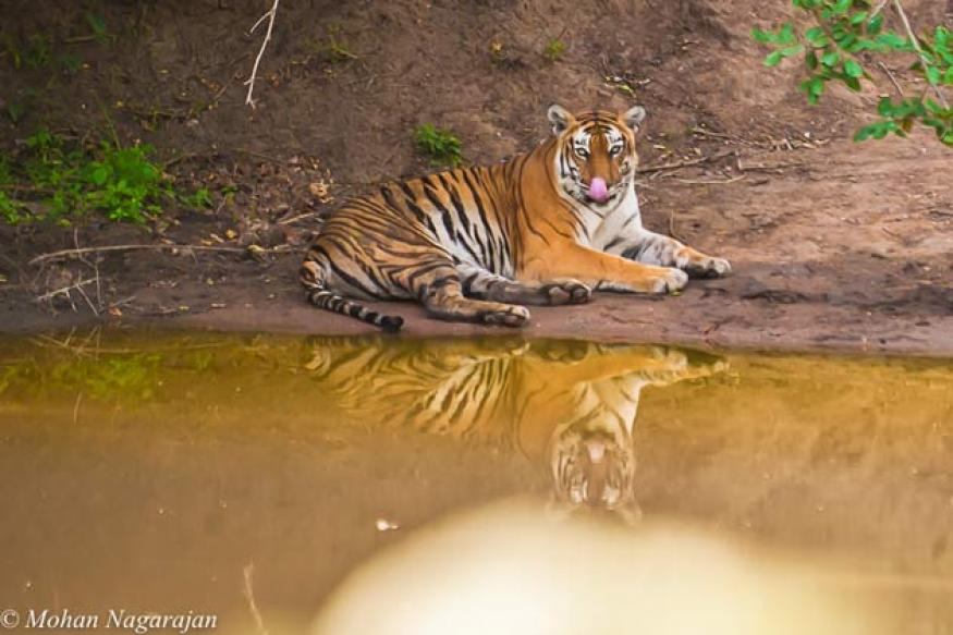 Tiger conservation: Govt needs to increase buffer zones