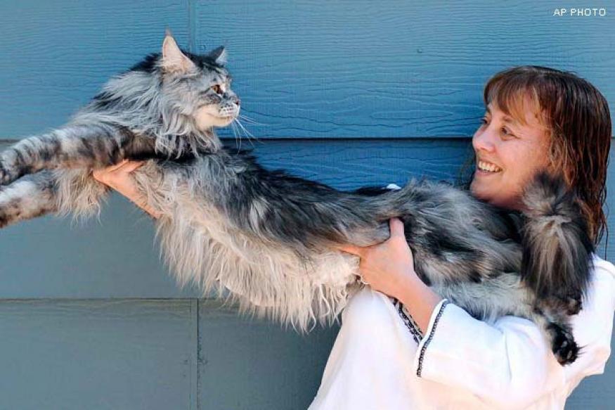 US: World's longest cat Stewie dies in Nevada