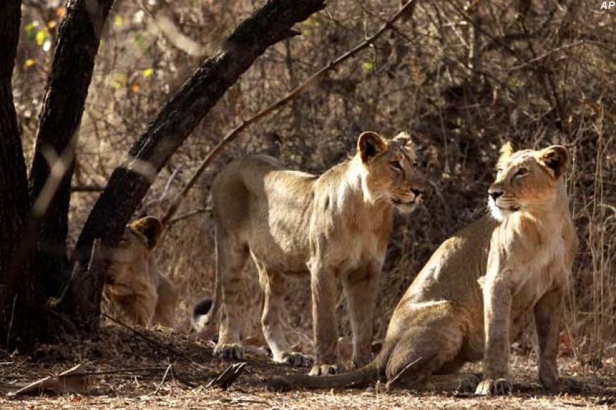 Gujarat to study SC verdict on lions before taking next step