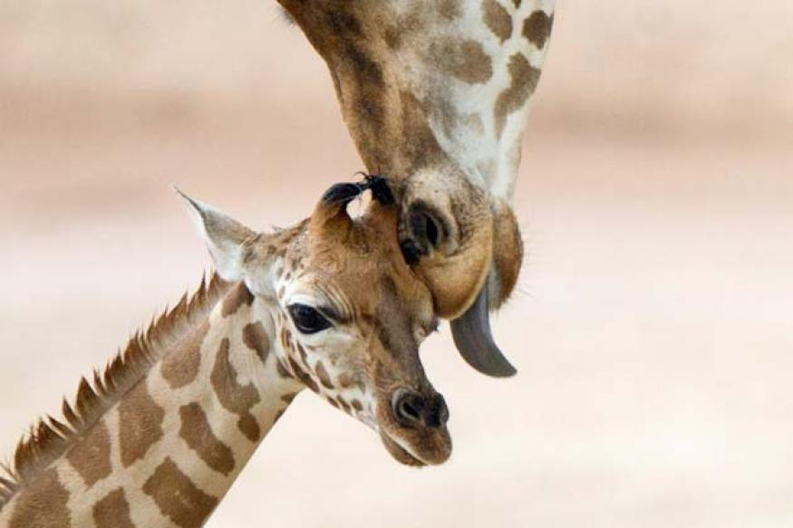 Snapshot: Awwww! Cutest photo of the day of baby giraffe canoodling with its mother
