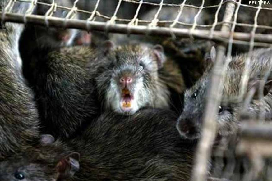 China: Police bust million-dollar rat meat ring