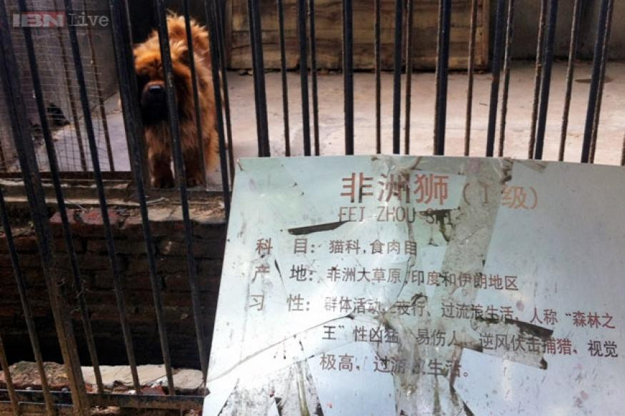 Chinese zoo tries to pass off a Tibetan mastiff dog as a lion