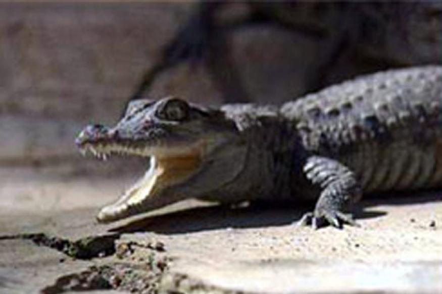 Zimbabwe man fistfights crocodile to save child