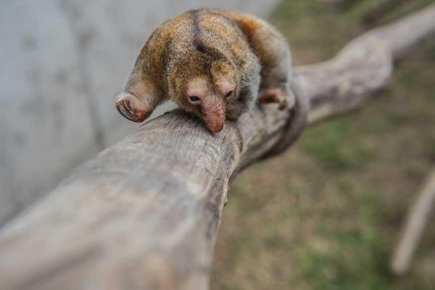 Adorable But Shy, Pygmy Anteaters Are VIPs at Peru Zoo