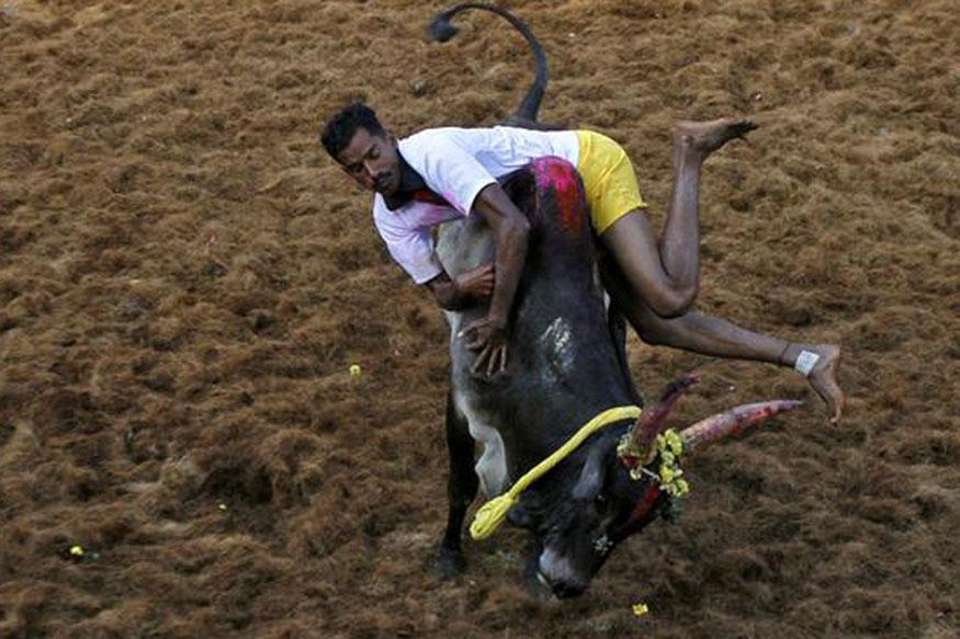 Jallikattu held in Tamil Nadu despite Supreme Court ban