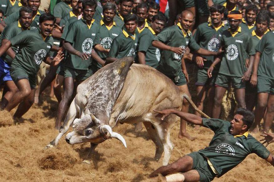 JalliKattu Plea Rejected by SC, Tamil Nadu Govt Seeks Centre's Help